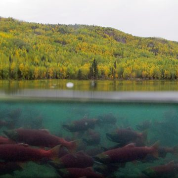 Underwater view of sockeye salmon