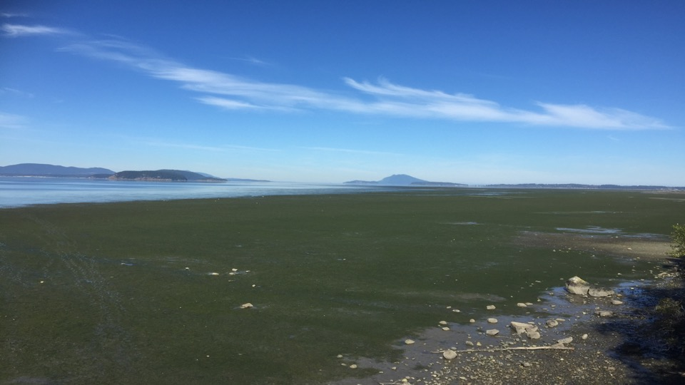 Tyler Tran's eelgrass meadow field site, Padilla Bay, WA. This bay is home to the second largest eelgrass meadow on the pacific coast of North America