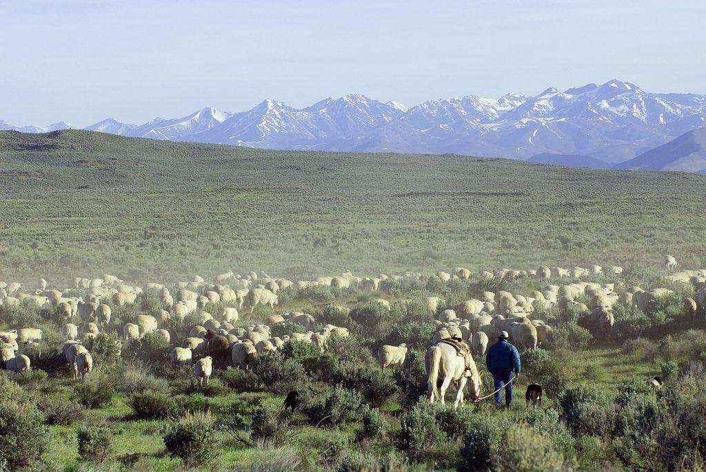 Sheep move through public lands near Shoshone, Idaho