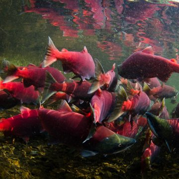 Sockeye salmon swimming away in Bristol Bay, Alaska