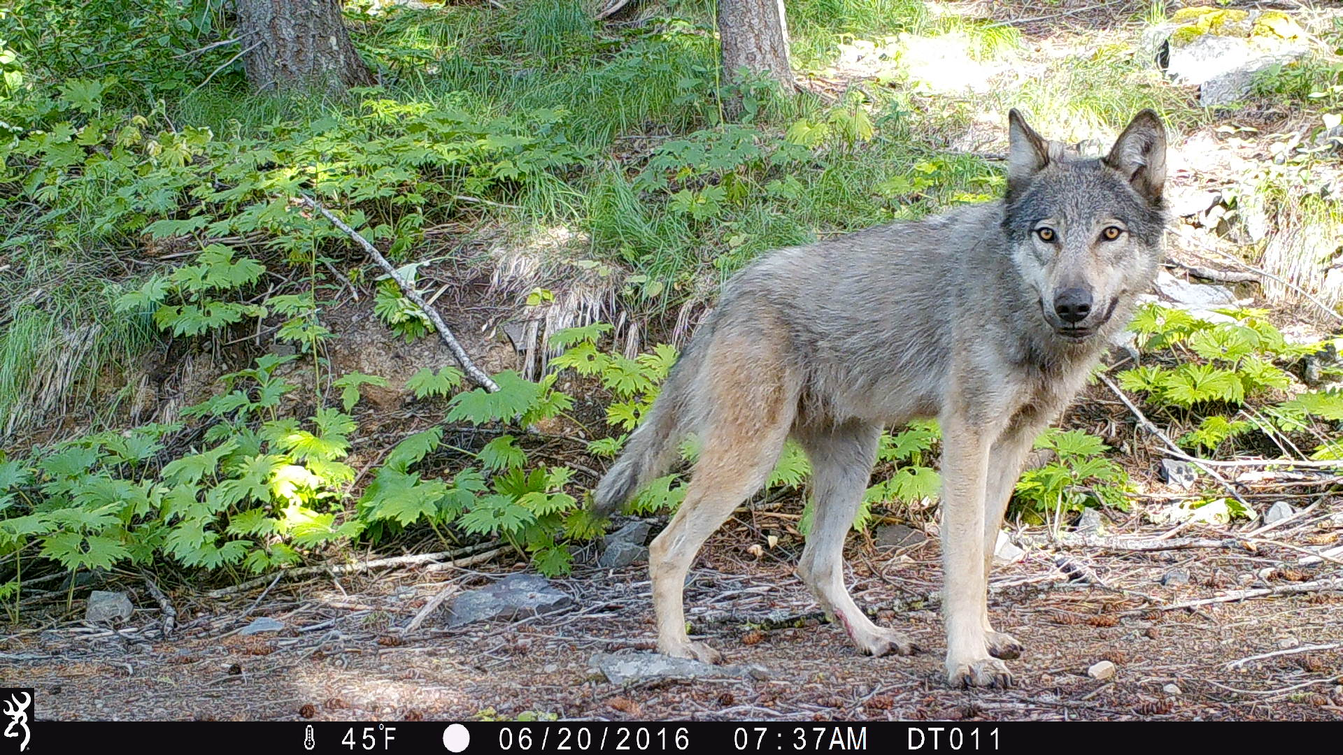 A juvenile grey wolf (Canis lupus) spots one of the Lynx Project camera traps spread across the high mountains of Washington State