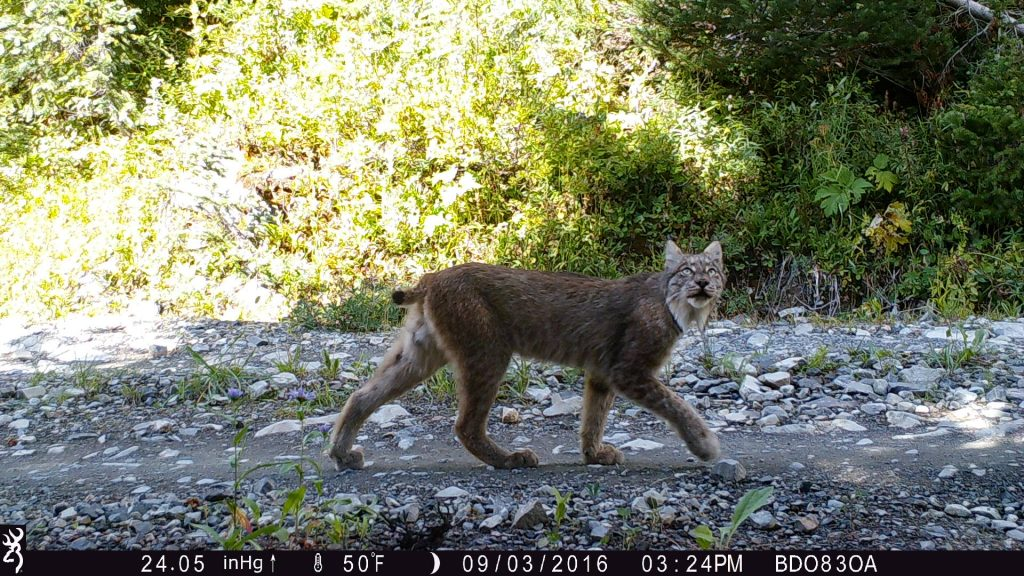 A Canada Lynx (Lynx canadensis) passes by one of the Lynx Project camera traps spread across the high mountains of Washington State