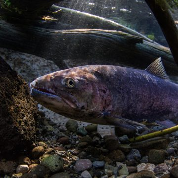 An underwater shot of a male redband trout lurking between underwater logs. This trout is covered in scars that show he survived spawning in the face of otters and eagles.
