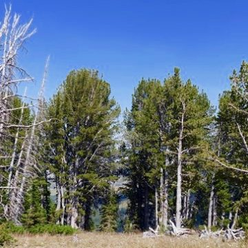 A grove of whitebark pine trees