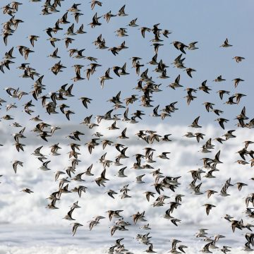 Flock of birds taking flight on Oregon Coast