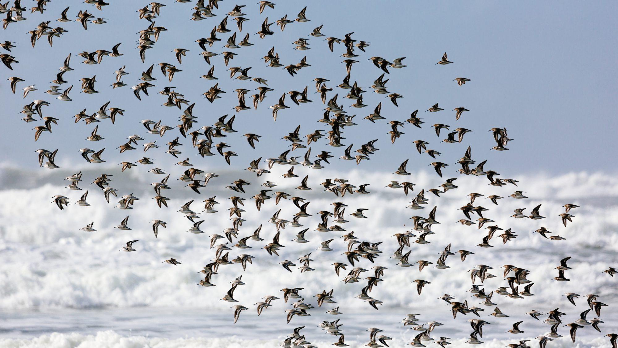 Flock of birds taking flight on Oregon Coast