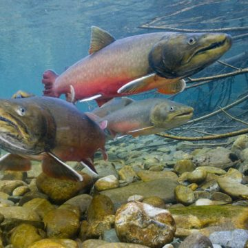 Bull trout in British Columbia's Wigwam River drainage, the headwaters of the Kootenai River