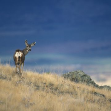 A mule deer on a yellow grassy slope turns to look at the camera