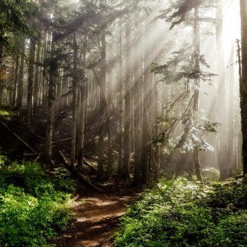 Sunlight filters through fog and trees in an Oregon forest