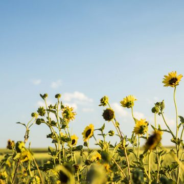 Sunflowers in a field under a clear, pale blue sky