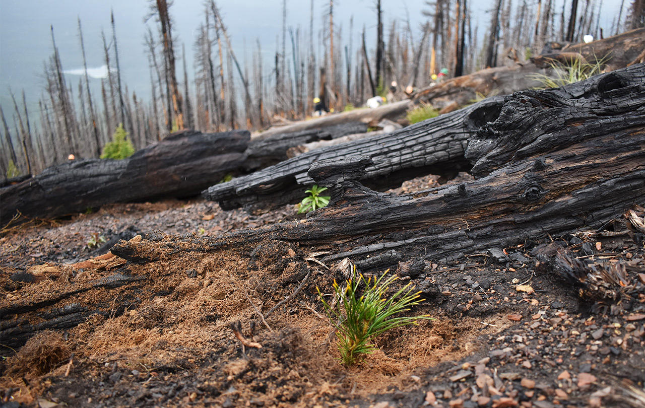 A newly-planted whitebark pine seedling next to charred log on the Flathead National Forest